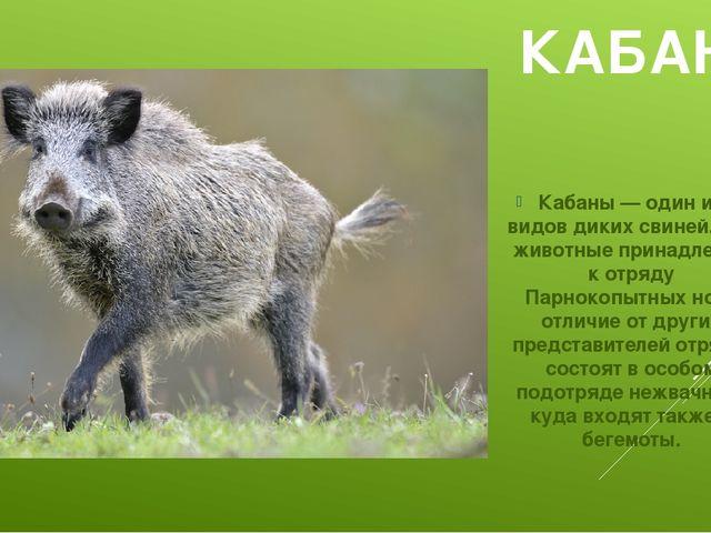 КАБАН Кабаны — один из видов диких свиней. Эти животные принадлежат к отряду...