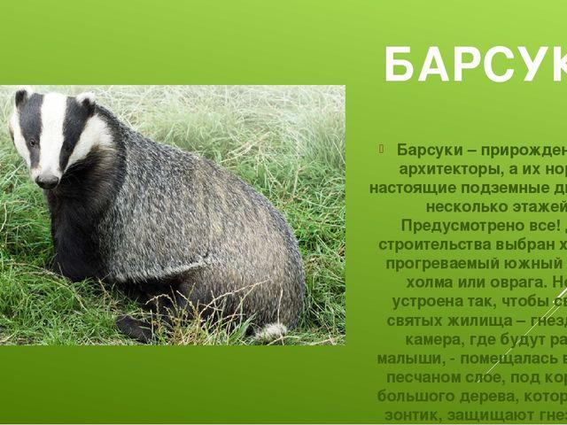 БАРСУК Барсуки – прирожденные архитекторы, а их норы – настоящие подземные дв...