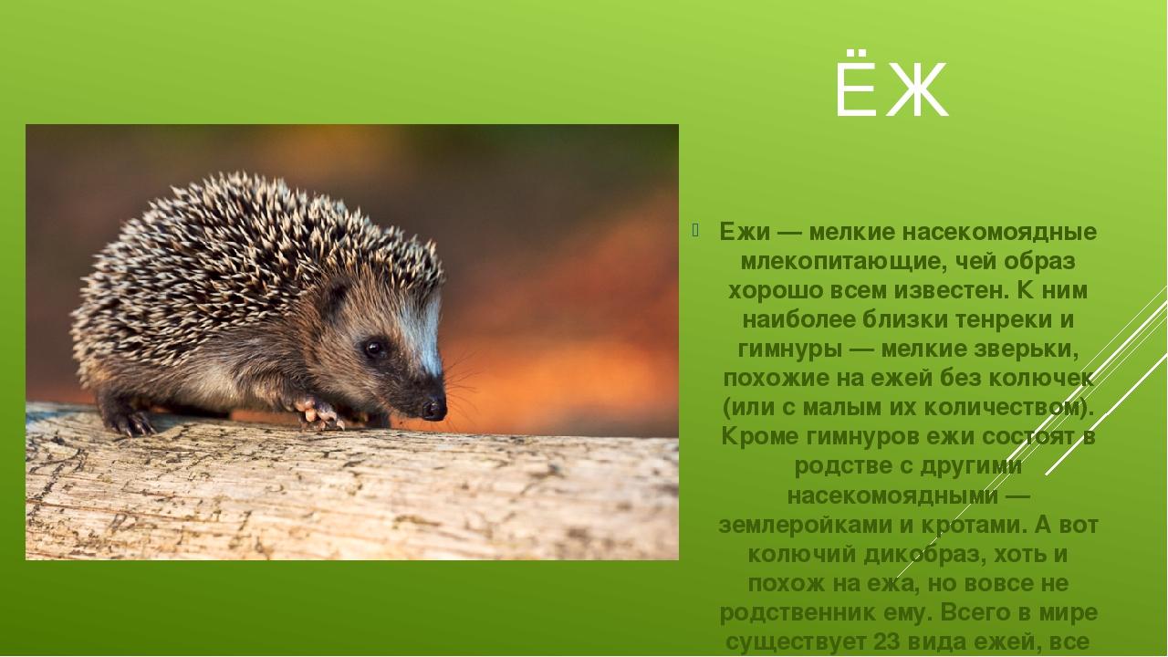 ЁЖ Ежи — мелкие насекомоядные млекопитающие, чей образ хорошо всем известен....