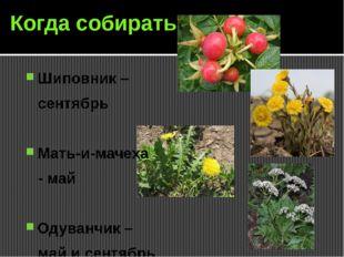 Когда собирать Шиповник – сентябрь Мать-и-мачеха - май Одуванчик – май и сент