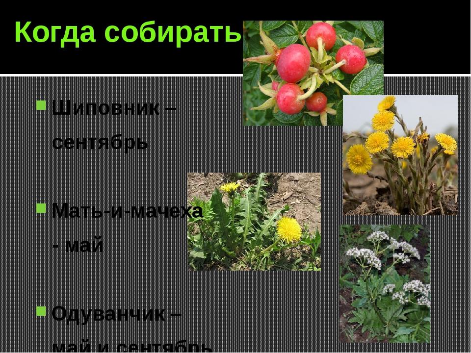 Когда собирать Шиповник – сентябрь Мать-и-мачеха - май Одуванчик – май и сент...