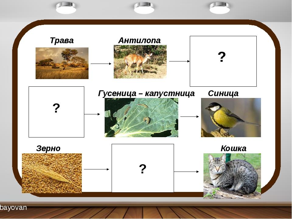 Трава Антилопа Лев Капуста Гусеница – капустница Синица Зерно Мышь Кошка ? ?...