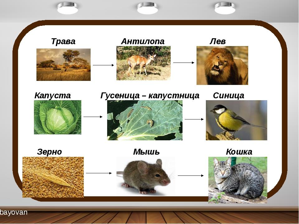 Трава Антилопа Лев Капуста Гусеница – капустница Синица Зерно Мышь Кошка bay...