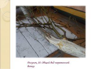 Рисунок 10. Общий вид пораженной ветки