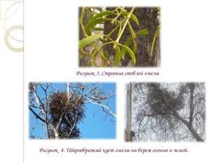 Рисунок 3. Строение стеблей омелы Рисунок 4. Шарообразный куст омелы на берез