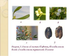 Рисунок 5. Омела: а) листья; б) цветок; в) плоды омелы белой; г) плоды омелы