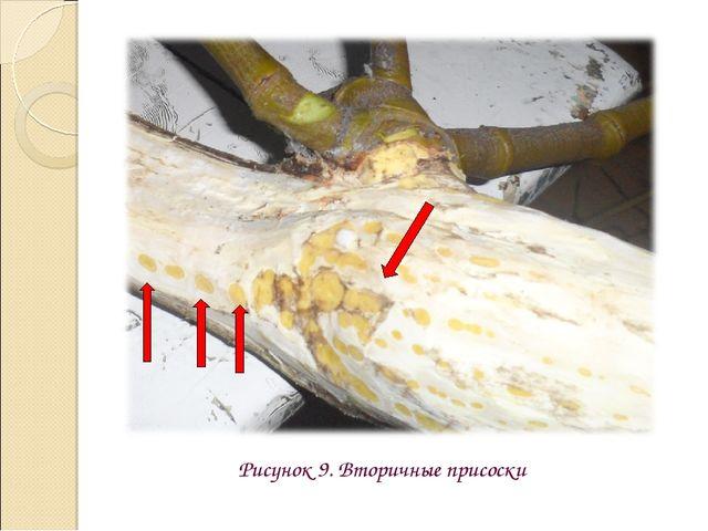 Рисунок 9. Вторичные присоски