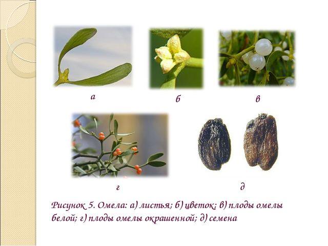 Рисунок 5. Омела: а) листья; б) цветок; в) плоды омелы белой; г) плоды омелы...