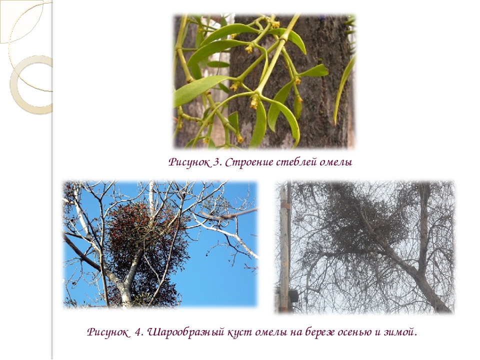 Рисунок 3. Строение стеблей омелы Рисунок 4. Шарообразный куст омелы на берез...