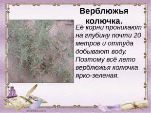 Верблюжья колючка. Её корни проникают на глубину почти 20 метров и оттуда доб