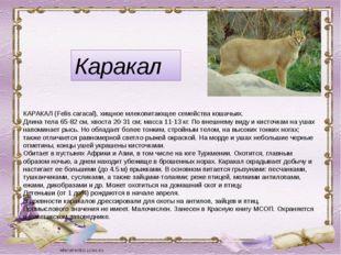 Каракал КАРАКАЛ (Felis caracal), хищное млекопитающее семейства кошачьих. Дли