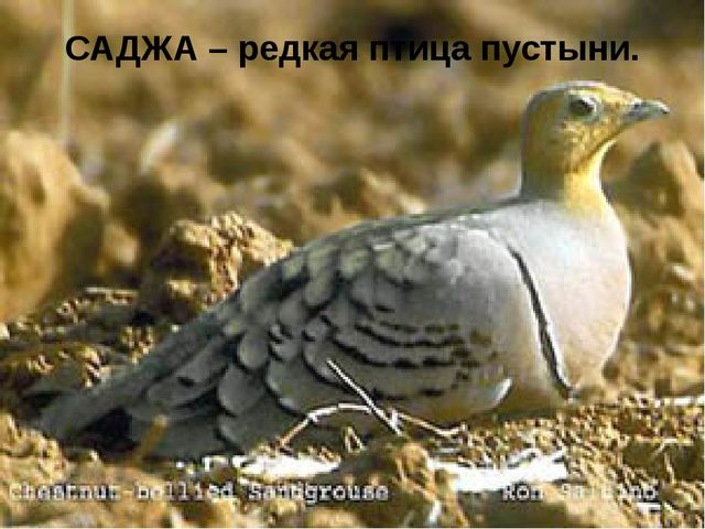 САДЖА – редкая птица пустыни.
