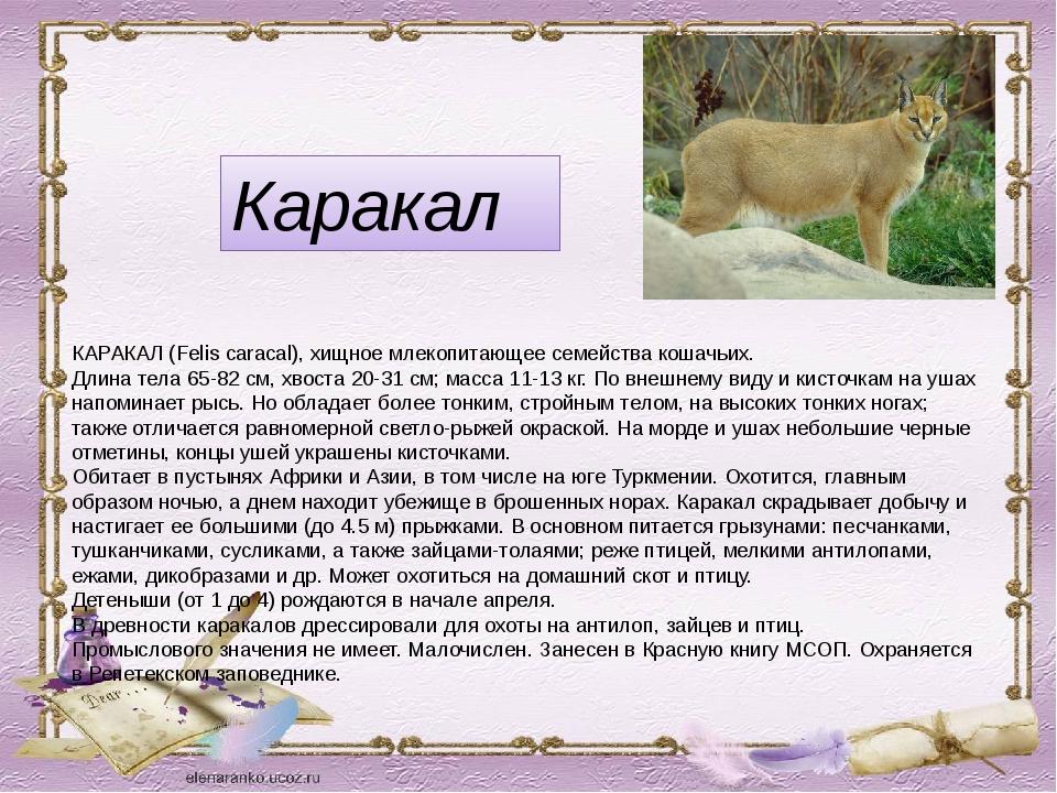 Каракал КАРАКАЛ (Felis caracal), хищное млекопитающее семейства кошачьих. Дли...