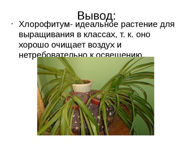 Вывод: Хлорофитум- идеальное растение для выращивания в классах, т. к. оно хо...