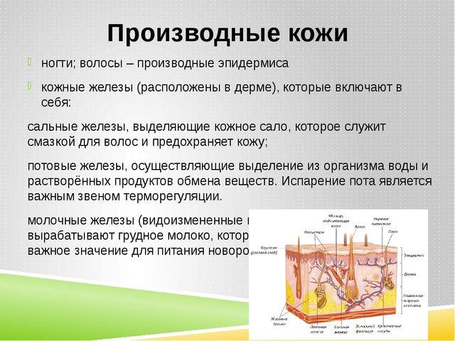 Производные кожи ногти; волосы – производные эпидермиса кожные железы (распол...