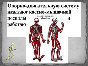 Опорно-двигательную систему называют костно-мышечной, поскольку скелет и мышц