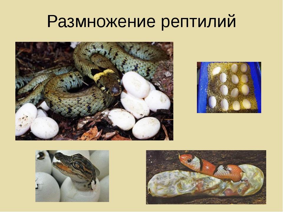 Размножение рептилий