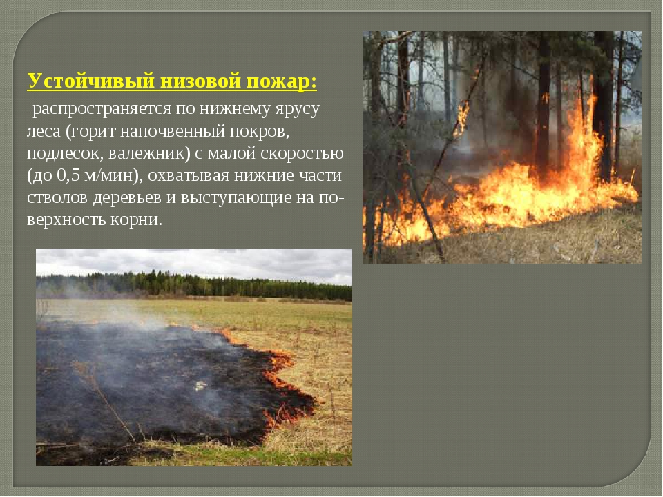 . Устойчивый низовой пожар: распространяется по нижнему ярусу леса (горит на...