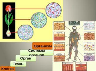 Клетка Ткань Организм Орган Системы органов
