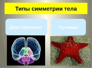 Симметрия тела Лучевая Двусторонняя Типы симметрии тела