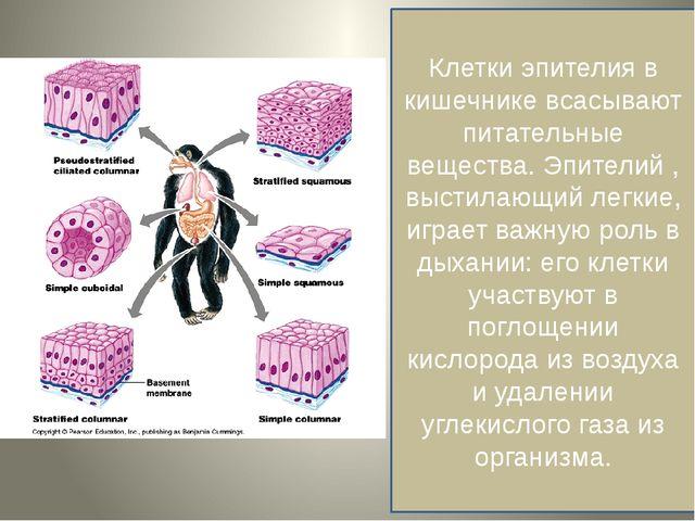 Клетки эпителия в кишечнике всасывают питательные вещества. Эпителий , высти...