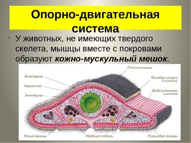 Опорно-двигательная система У животных, не имеющих твердого скелета, мышцы вм...