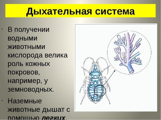 Дыхательная система В получении водными животными кислорода велика роль кожны...