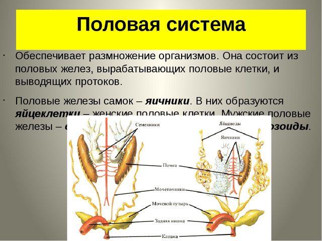 Половая система Обеспечивает размножение организмов. Она состоит из половых ж...