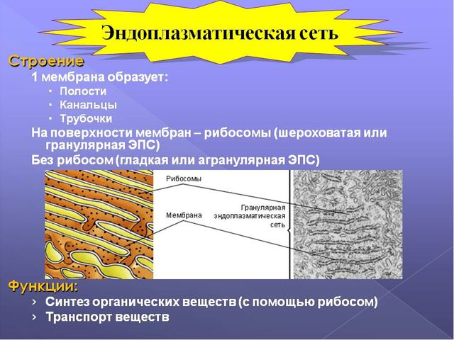 Эндоплазматическая сеть