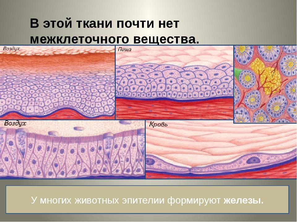В этой ткани почти нет межклеточного вещества. У многих животных эпителии фор...