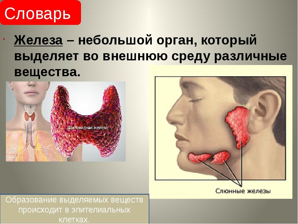 Железа – небольшой орган, который выделяет во внешнюю среду различные вещест...