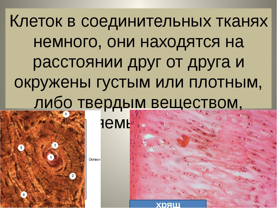 Клеток в соединительных тканях немного, они находятся на расстоянии друг от д...