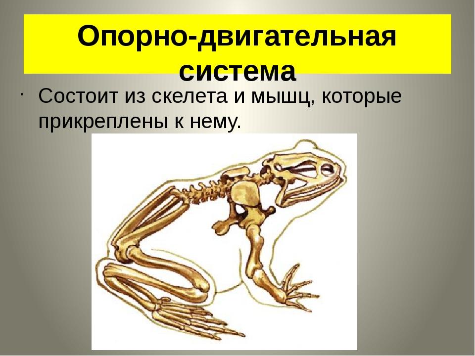 Опорно-двигательная система Состоит из скелета и мышц, которые прикреплены к...