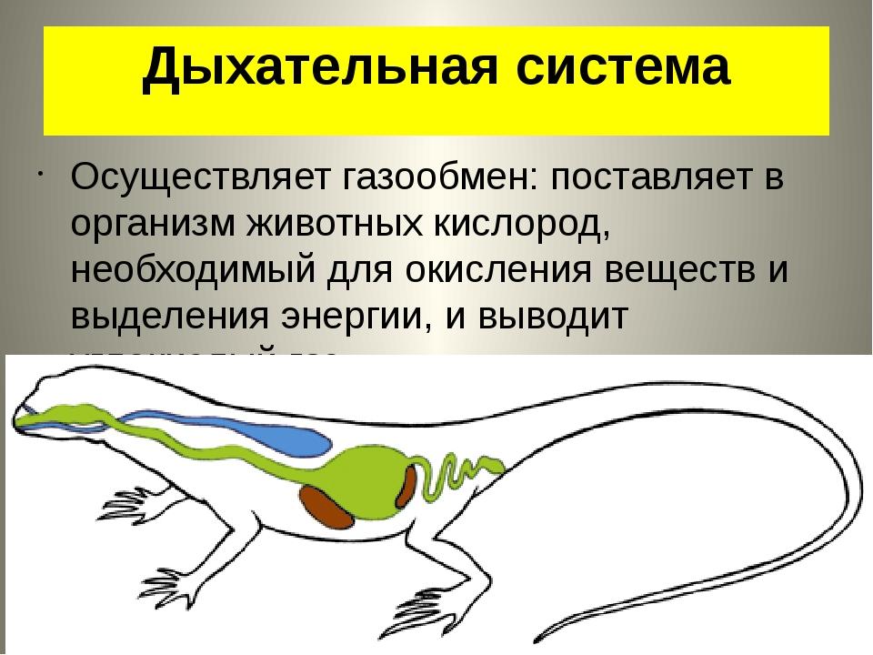 Дыхательная система Осуществляет газообмен: поставляет в организм животных ки...
