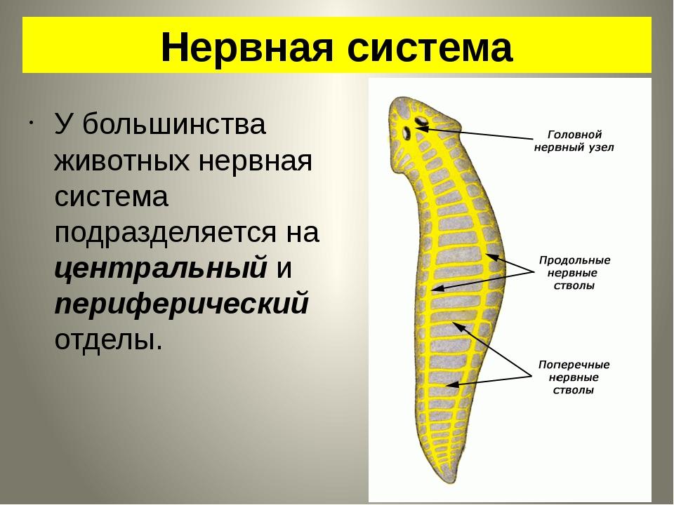 Нервная система У большинства животных нервная система подразделяется на цент...