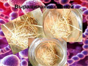 Выращивание сенной палочки