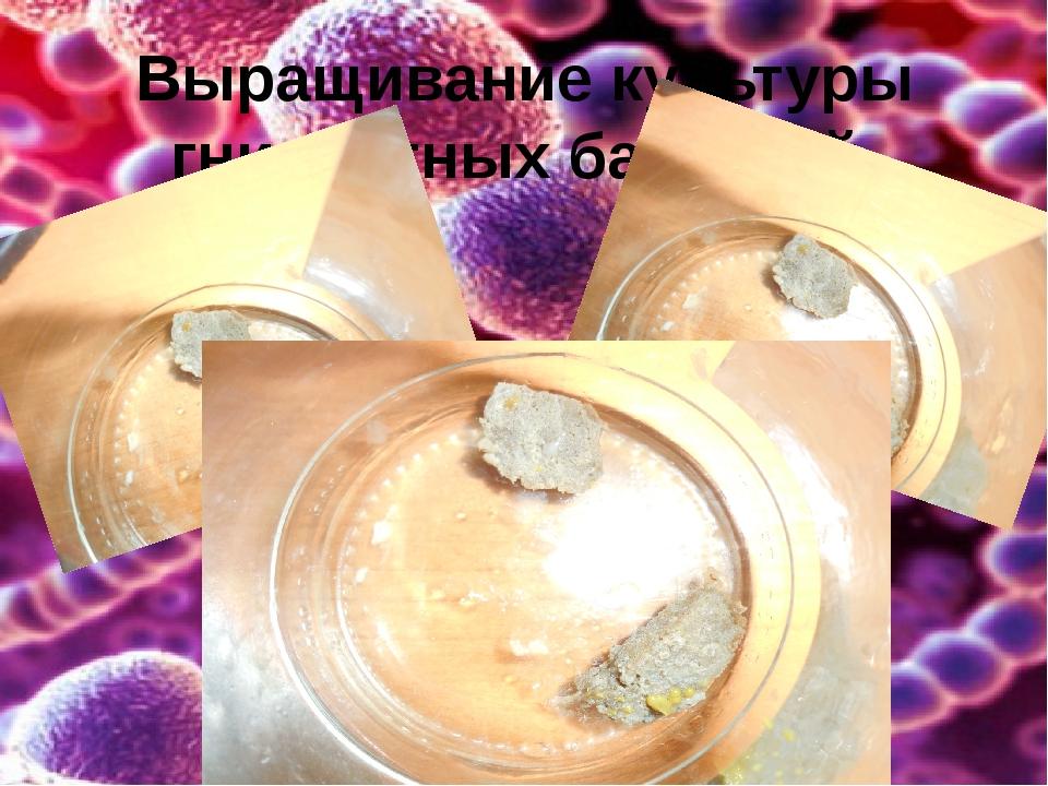Выращивание культуры гнилостных бактерий
