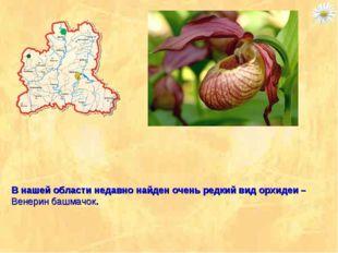 В нашей области недавно найден очень редкий вид орхидеи – Венерин башмачок.