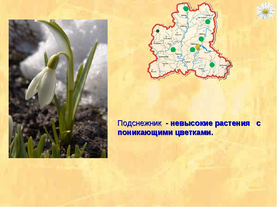 Подснежник - невысокие растения с поникающими цветками. .
