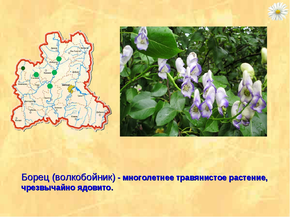 Борец (волкобойник) - многолетнее травянистое растение, чрезвычайно ядовито.