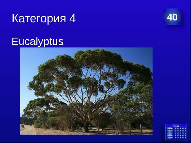 Категория 4 Eucalyptus
