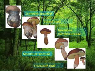 Осиновик красный Белый гриб Маслёнок лиственничный Маслёнок жёлтый Польский г