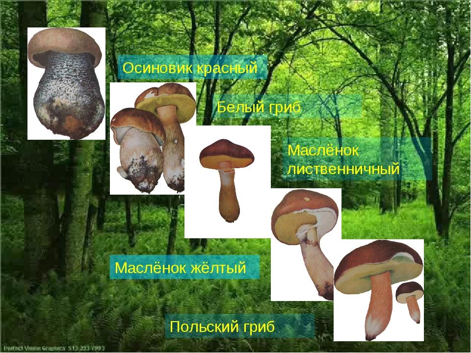 Осиновик красный Белый гриб Маслёнок лиственничный Маслёнок жёлтый Польский г...