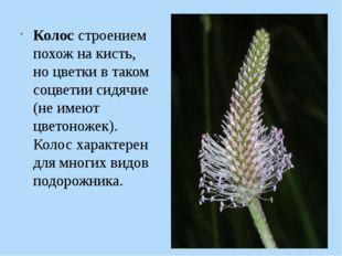 Колос строением похож на кисть, но цветки в таком соцветии сидячие (не имеют