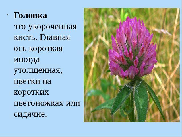 Головка это укороченная кисть. Главная ось короткая иногда утолщенная, цветк...