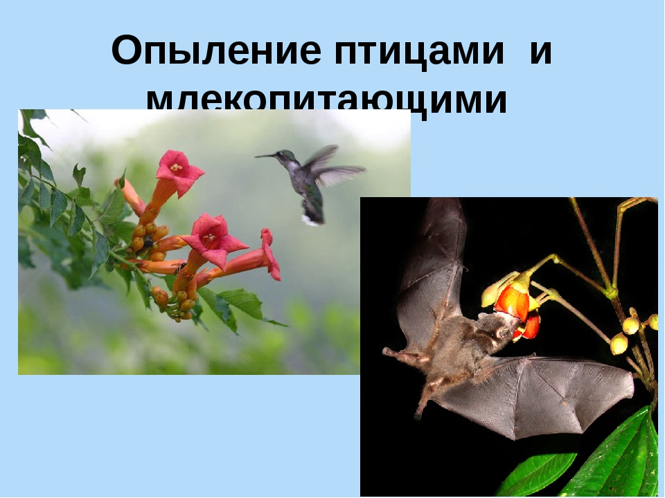 Опыление птицами и млекопитающими