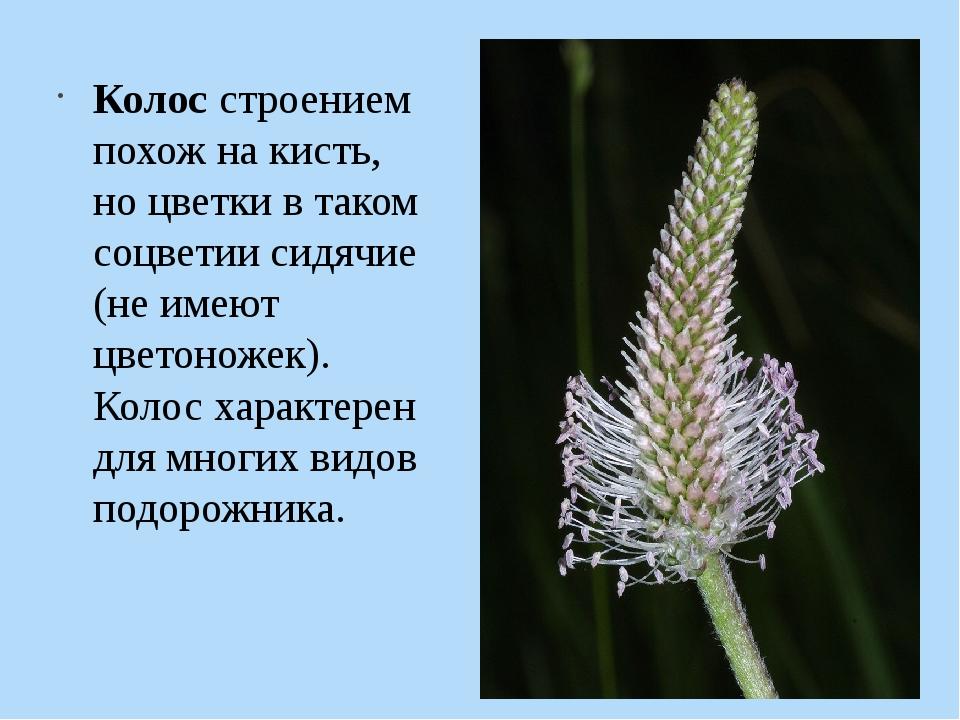 Колос строением похож на кисть, но цветки в таком соцветии сидячие (не имеют...