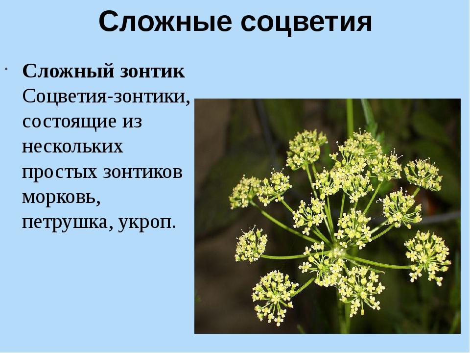 Сложные соцветия Сложный зонтик Соцветия-зонтики, состоящие из нескольких пр...