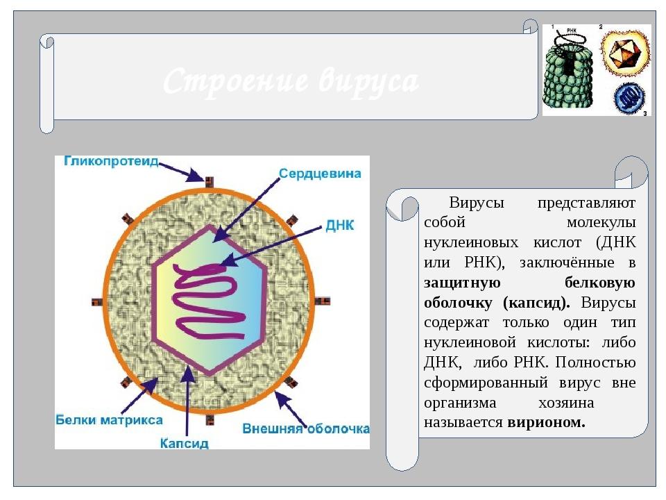 Строение вируса Вирусы представляют собой молекулы нуклеиновых кислот...