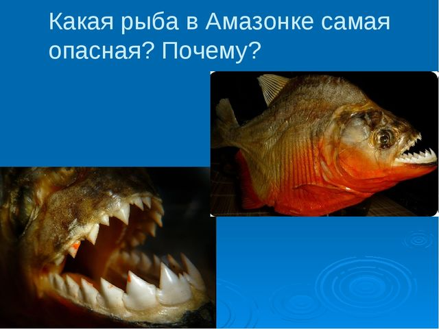 Какая рыба в Амазонке самая опасная? Почему?